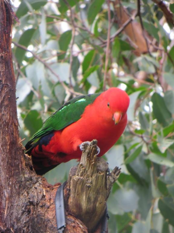 King parrots in garden