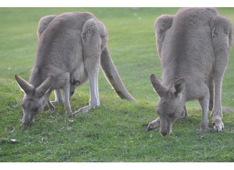 Kangaroos grazing at the golf course