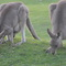 Kangaroos grazing at the golf course