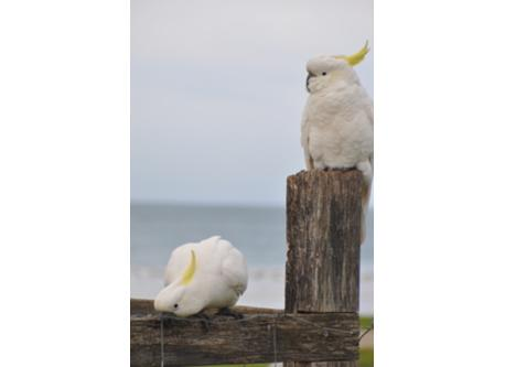 Cockatoos at the beach