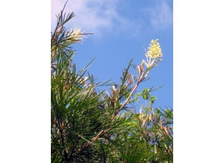 Native grevillea