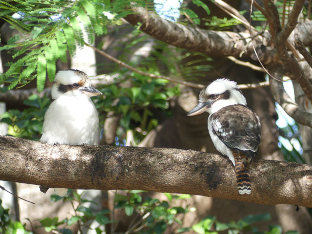 Two local kookaburras visit our backyard