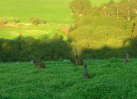 Kangaroos at dusk on the property