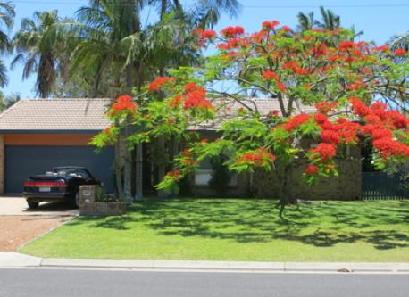 Poinciana Tree in Bloom