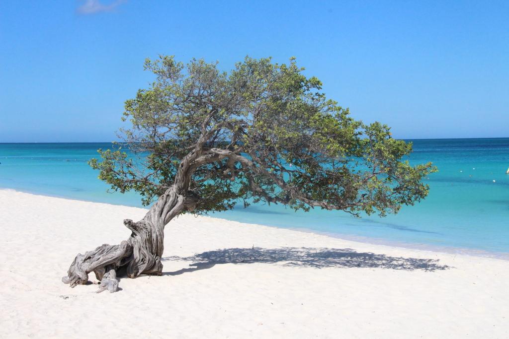 Famous Divi Divi tree