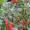 different kinds of berries in the garden