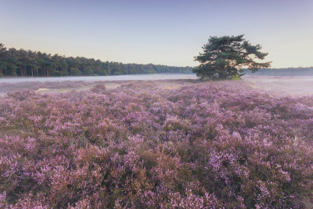 heathland in Limburg (1h drive)