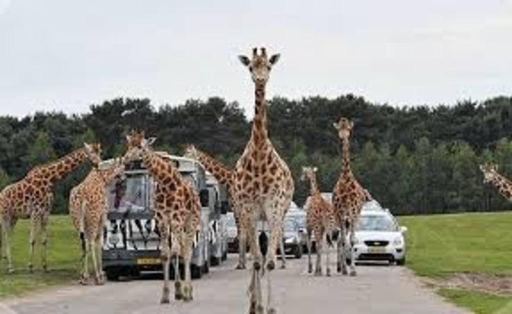 Beekse Bergen = safaripark in The Netherlands.