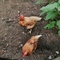 our 2 chickens