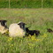 Our sheeps in the meadow