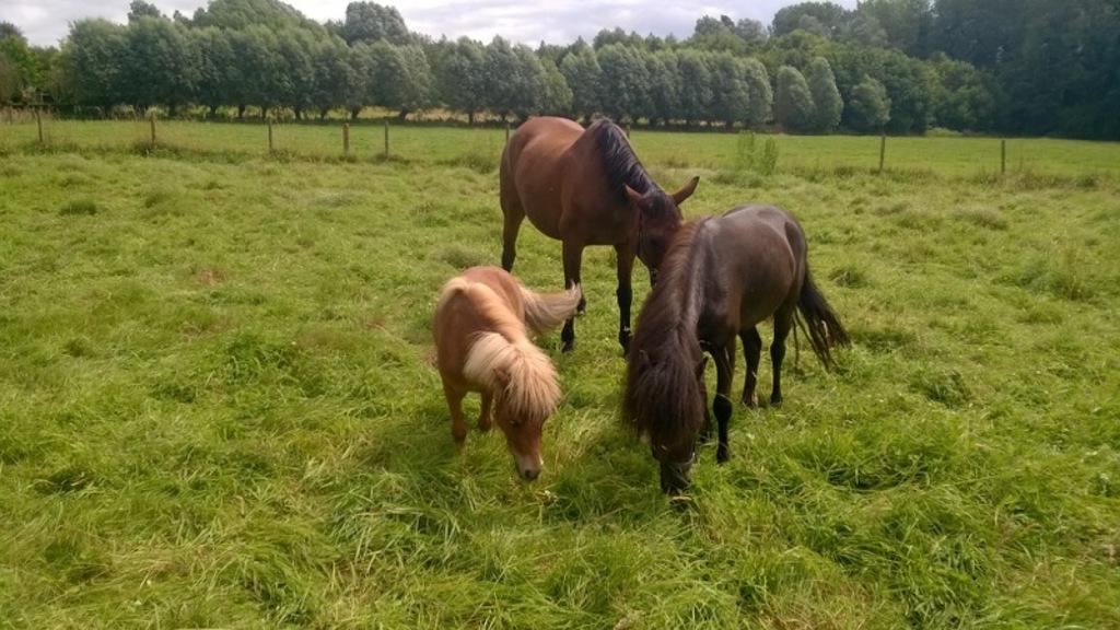 1 Horse, 1 Pony, 1 Shetlandpony