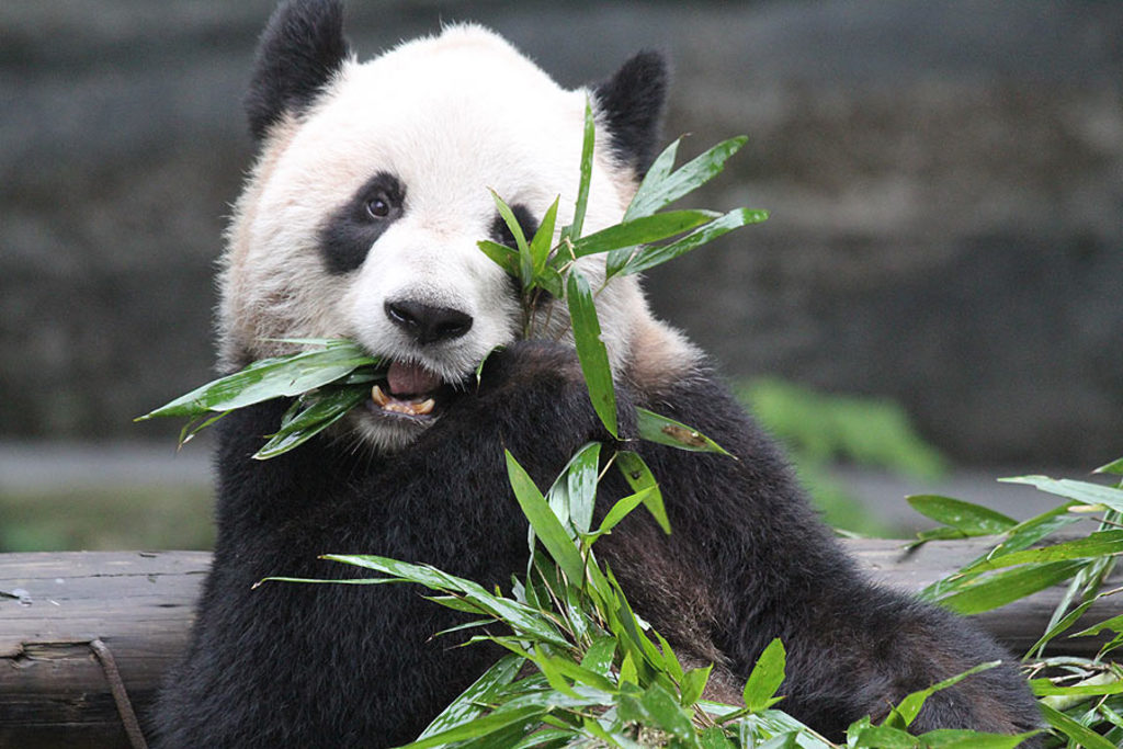 The Toronto Zoo, about 30 minutes by car from our house, is a great family attraction and currently home to 2 Giant Pandas on...