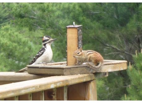 Woodpecker and Chipmunk