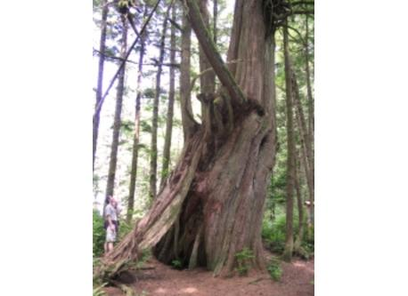One of many large old-growth trees on Vancouver Island