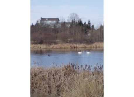 Arctic Swans on the Pond