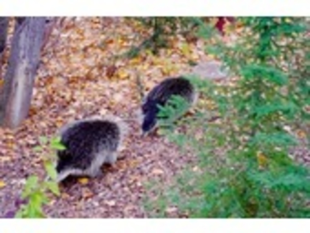 Behind our house - porcupine mating season!