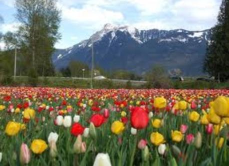 Nearby tulip farm