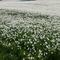 Les narcisses en fleur dans les hauts de Montreux aux mois de mai / juin