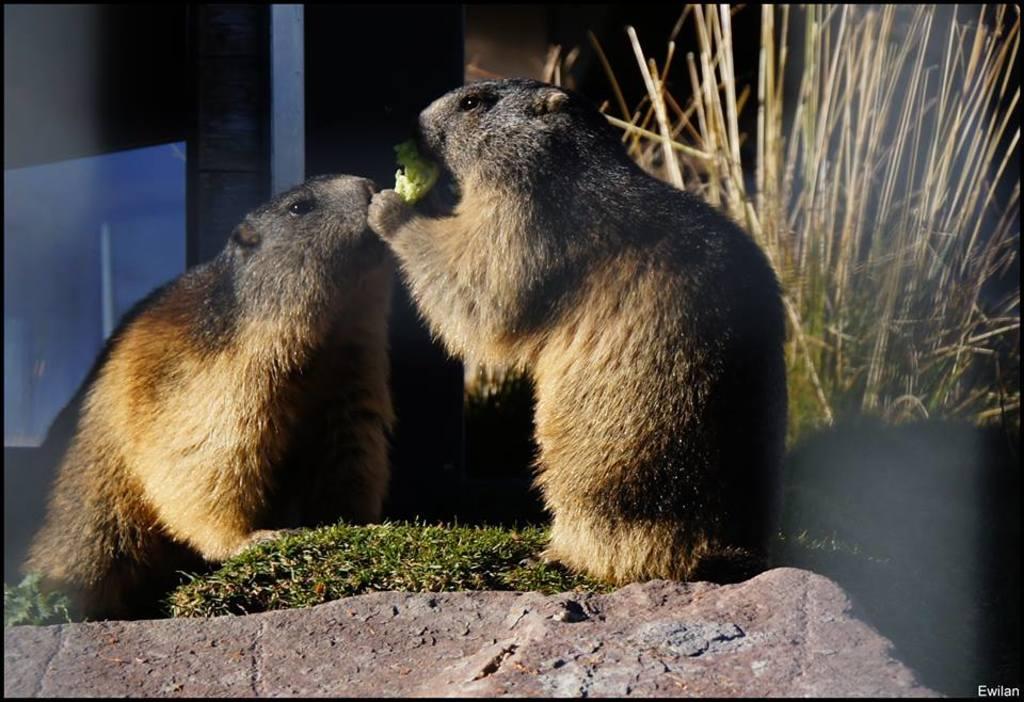 Marmottes Suisse