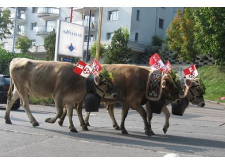 Cows come home from the alps