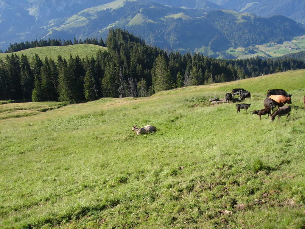 Cows in the Prealps