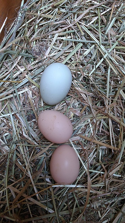 eggs of Hannelore, our chicken!