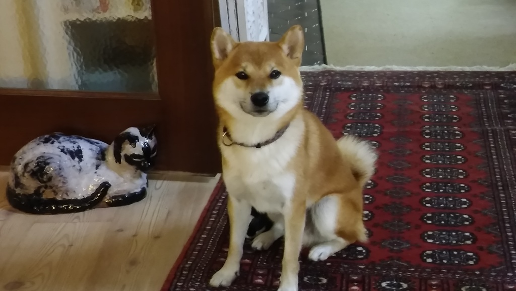 KIM ,  our Shiba Inu and our permanent companion