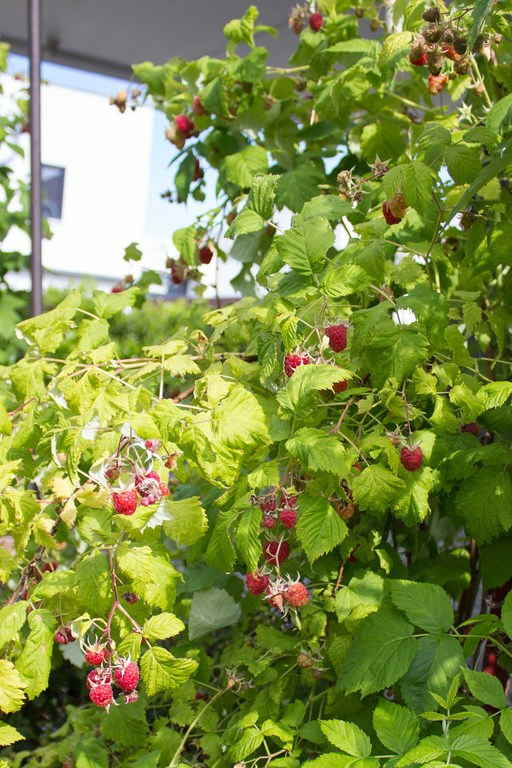 You can pick berries in the garden.