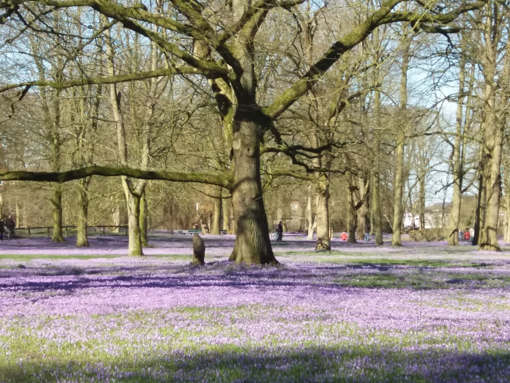 The famous crocus blossom in the castle park in April