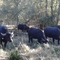 Water buffalos in the nature reserve