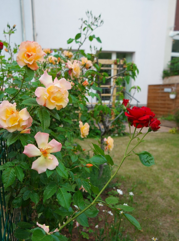Many Roses in our Courtyard