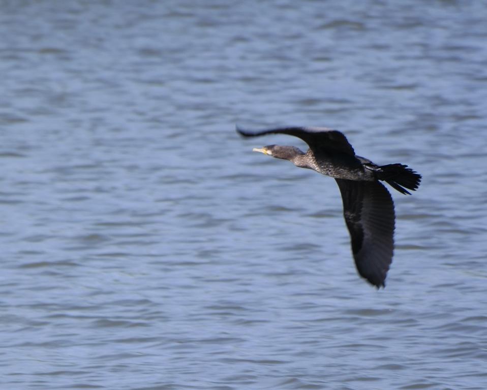 Heron at the university lake