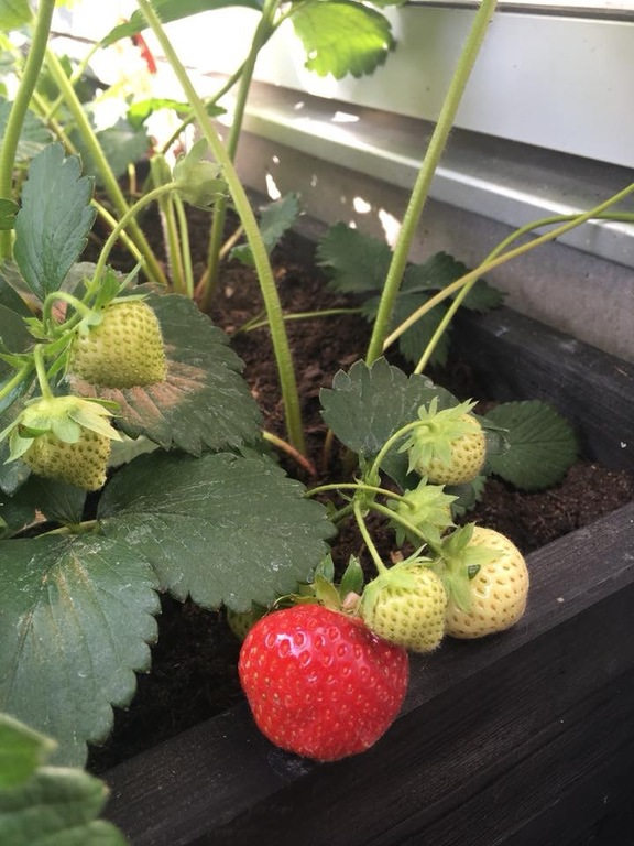 Strawberries growing in the garden🍓