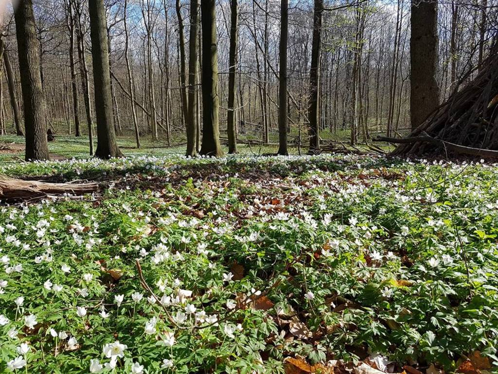 White anemones in the forest in springtime - Egebæksvang, just around the corner.