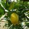 limonero del jardín.