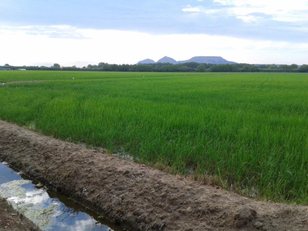 Pals' rice fields