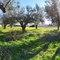 El olivar, al lado del pueblo.