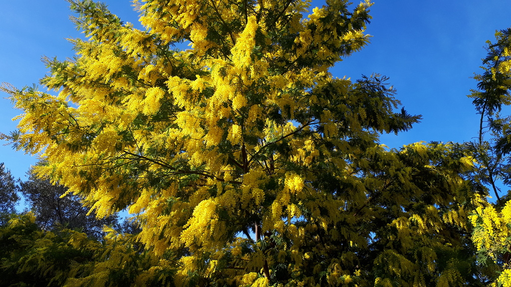 Our mimosa tree in Februay 2019