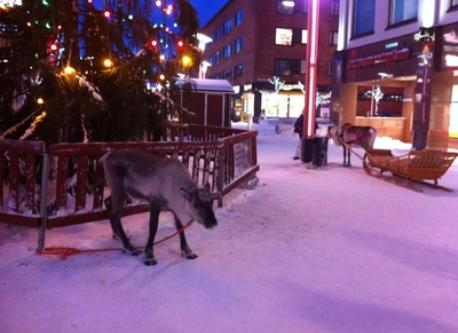 Reindeers in the centre of Rovaniemi