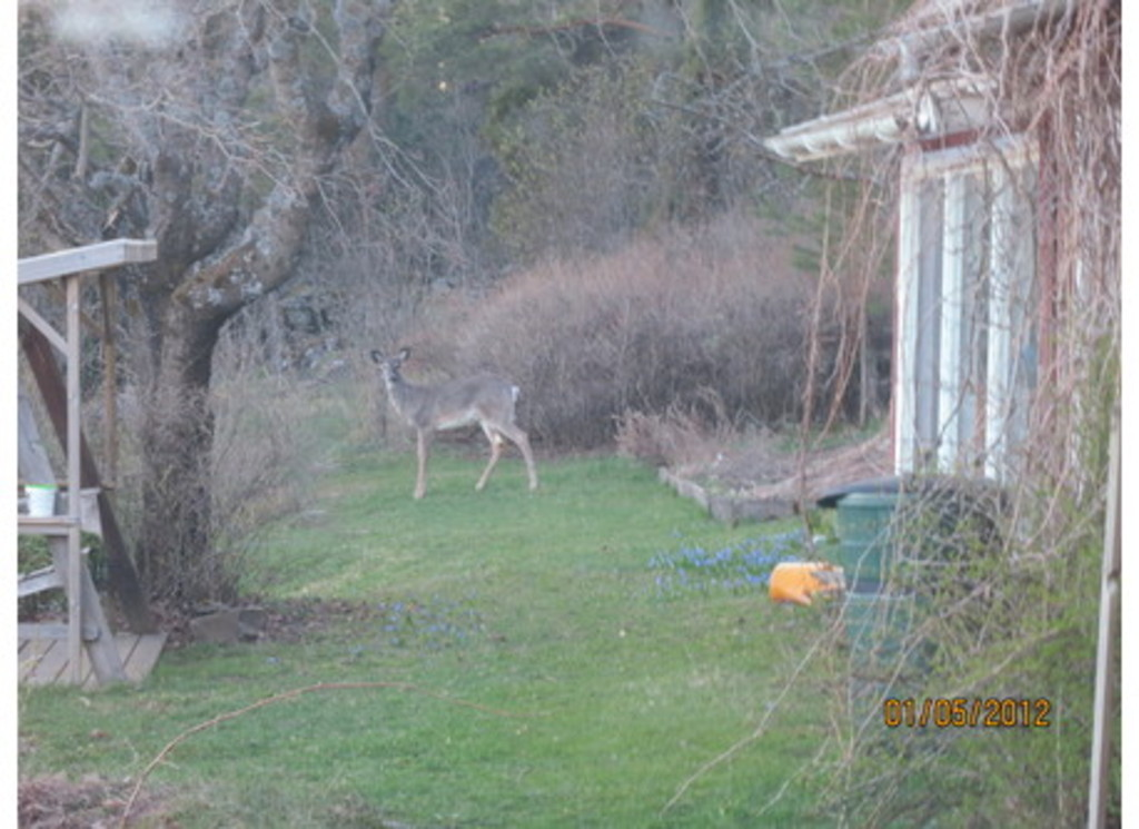 White-tailed deer visit us every now and then!