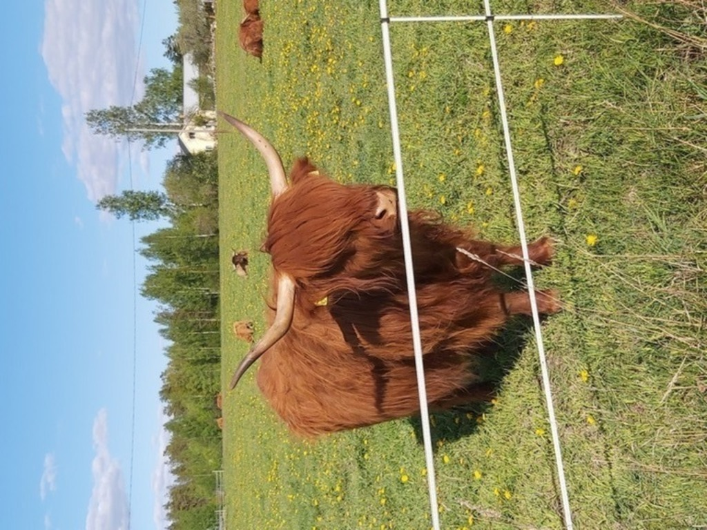 "40km from our home you will find rare cows called ""Ylämaan karja""."