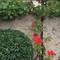 Vigne et rosiers grimpants sur nos murs d'enceinte