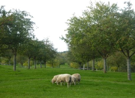 Typical Calvados' landscapes with apple trees and sheeps
