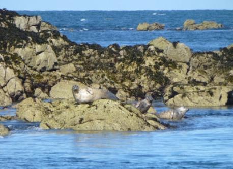 Les phoques  de la réserve des Sept Iles/ seals in the archipelago