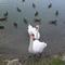 Cygnes et Canard au lac de Laure