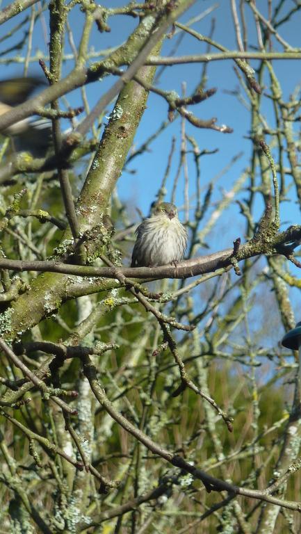 Les tarins des aulnes, oiseaux migrateurs qui nous rendent visite en fin d'hiver