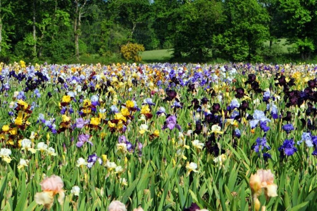 Garden of iris Bubry