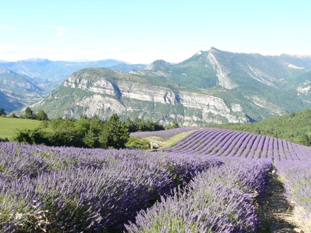 Champs de lavande en Provence en Août
