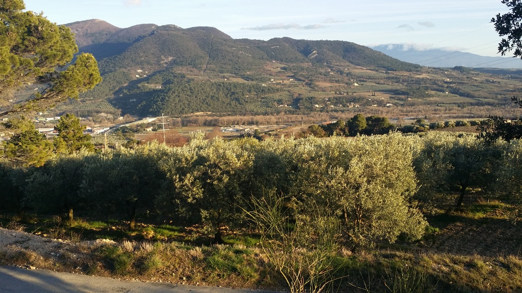 local olive fields