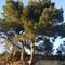 local pine trees